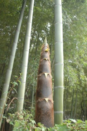 Bamboo Tail - Chongqing DOg