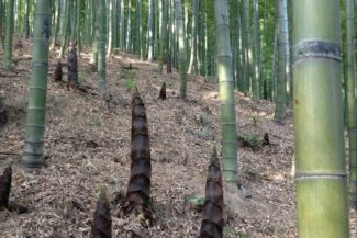 Bamboo Tail