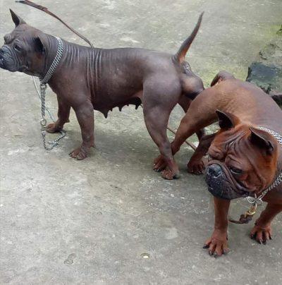 Chongqing Dog - Bamboo Tail
