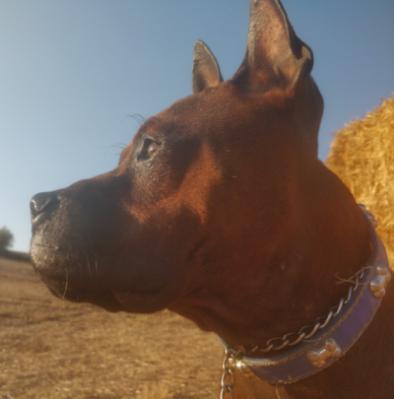 Museau long : Chuandong Hound (Bock type terrier)