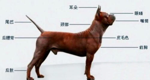 Chuandong hound HYBRID STANDARD