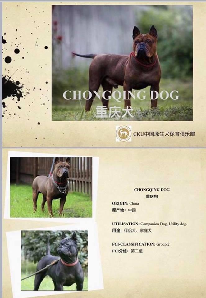 Bamboo Tail Chongqingdog