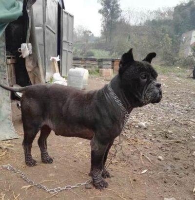 Bamboo Tail CQdog